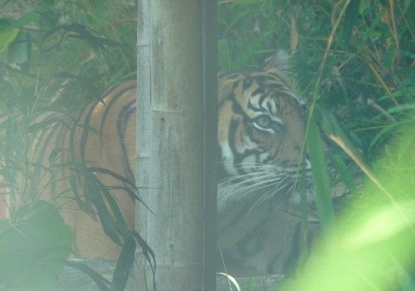 16.Sumatran Tiger