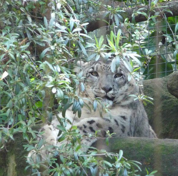 17.Snow Leopard