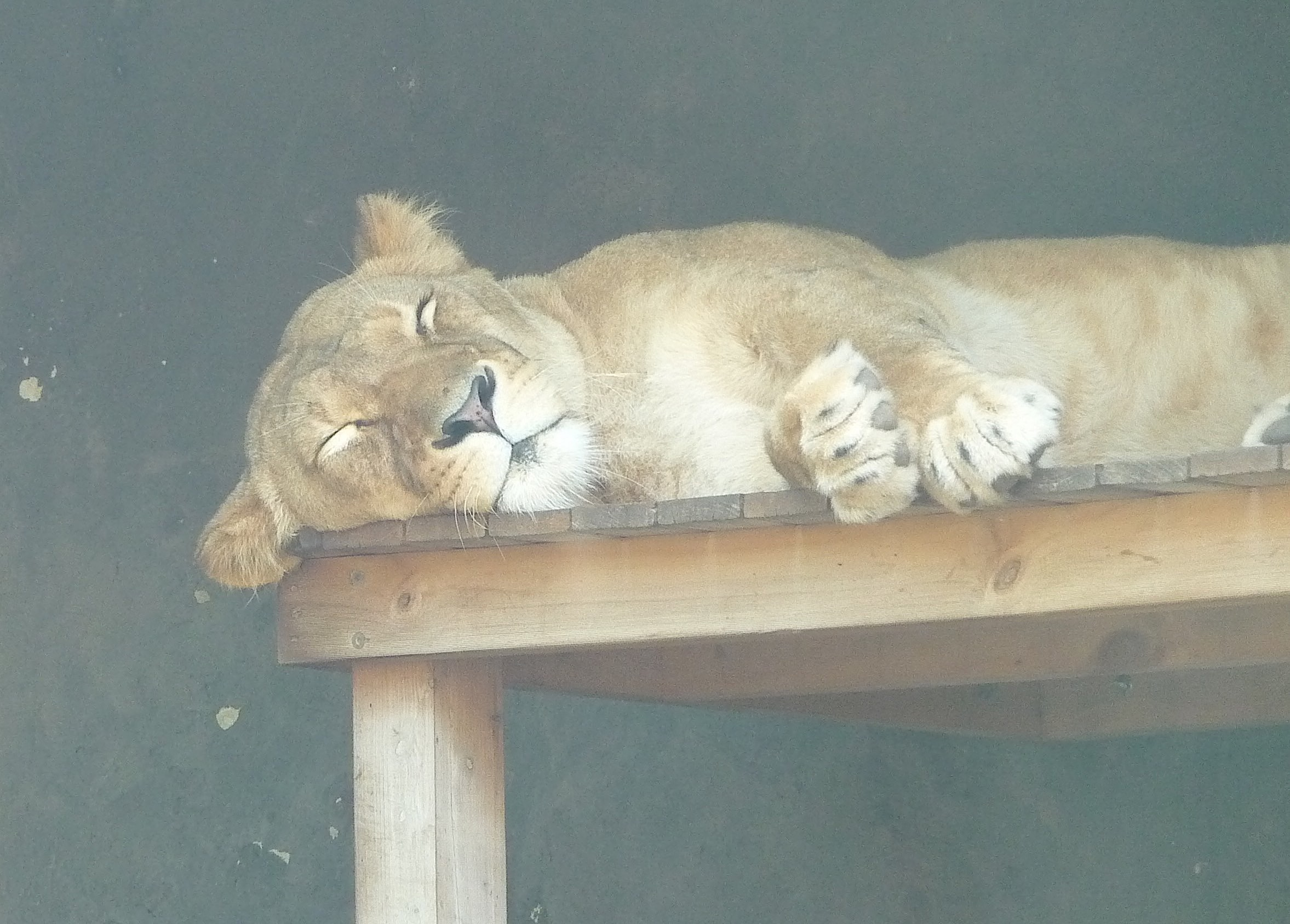 18.lioness