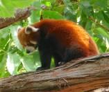 2.red panda