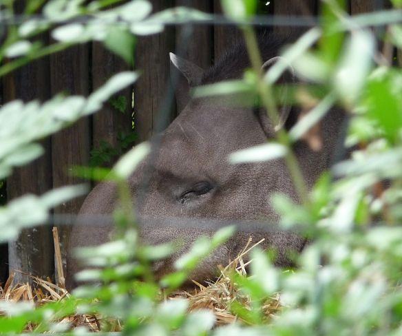 20.tapir