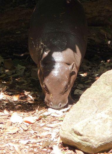 21.baby pygmy hippo