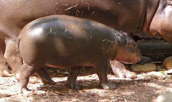 22.baby pygmy hippo
