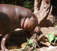 23.pygmy hippo