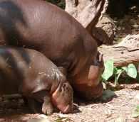 24.pygmy hippo