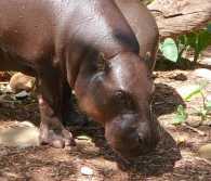25.pygmy hippo