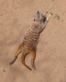 26.meerkat