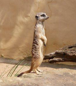 27.meerkat