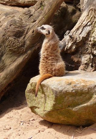 28.meerkat
