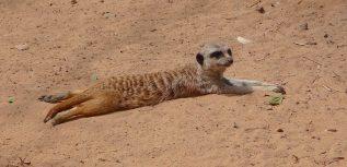 29.meerkat