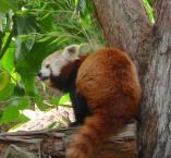 3.red panda