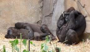 30.gorilla