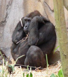 31.gorilla