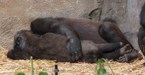32.gorilla