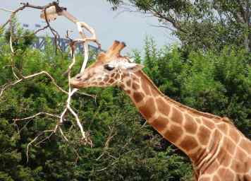 35.giraffe