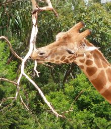 36.giraffe