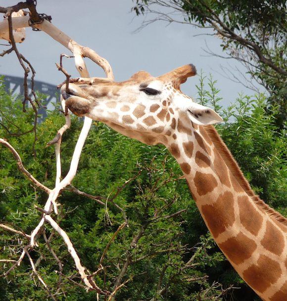 37.giraffe