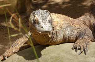 39.Komodo Dragon