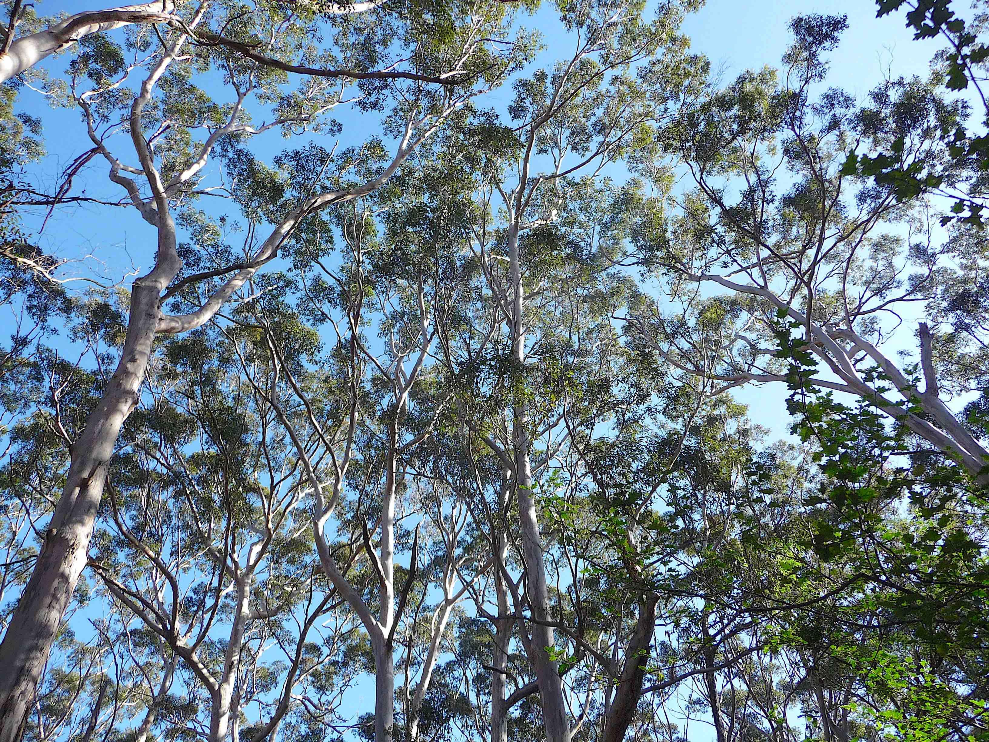 4.Karri trees