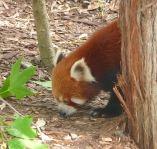 4.red panda