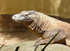 40.Komodo Dragon