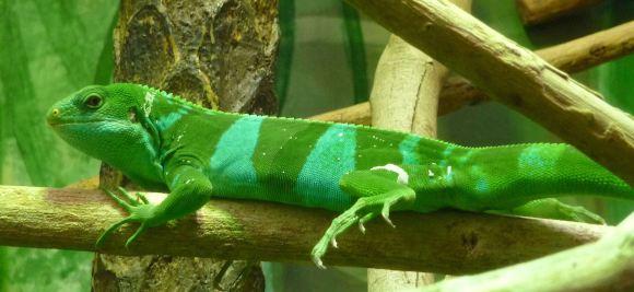 43.lizard