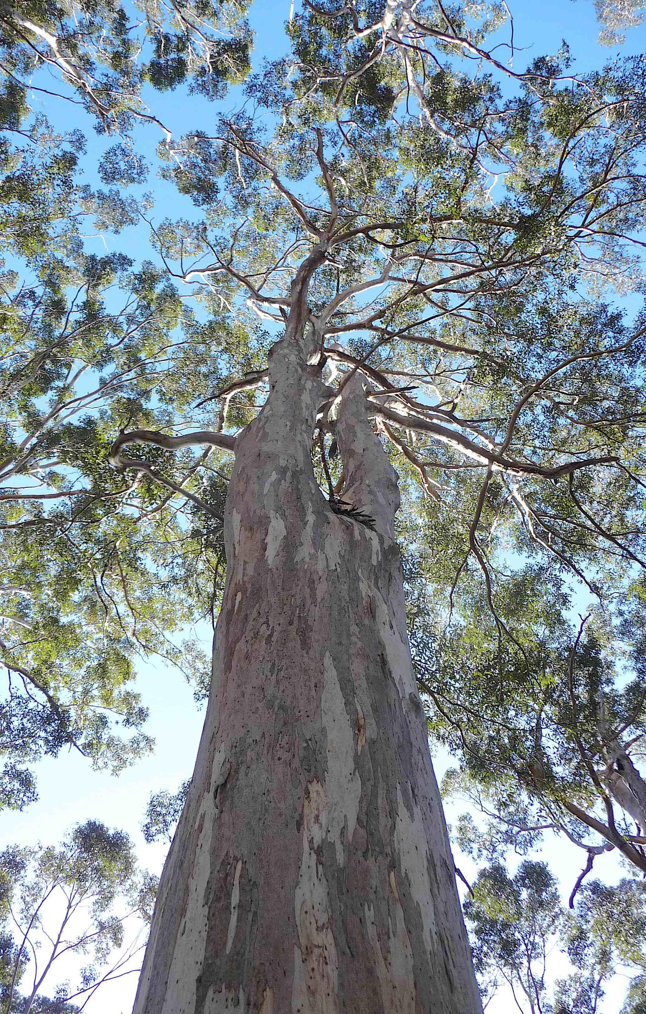 5.Karri tree