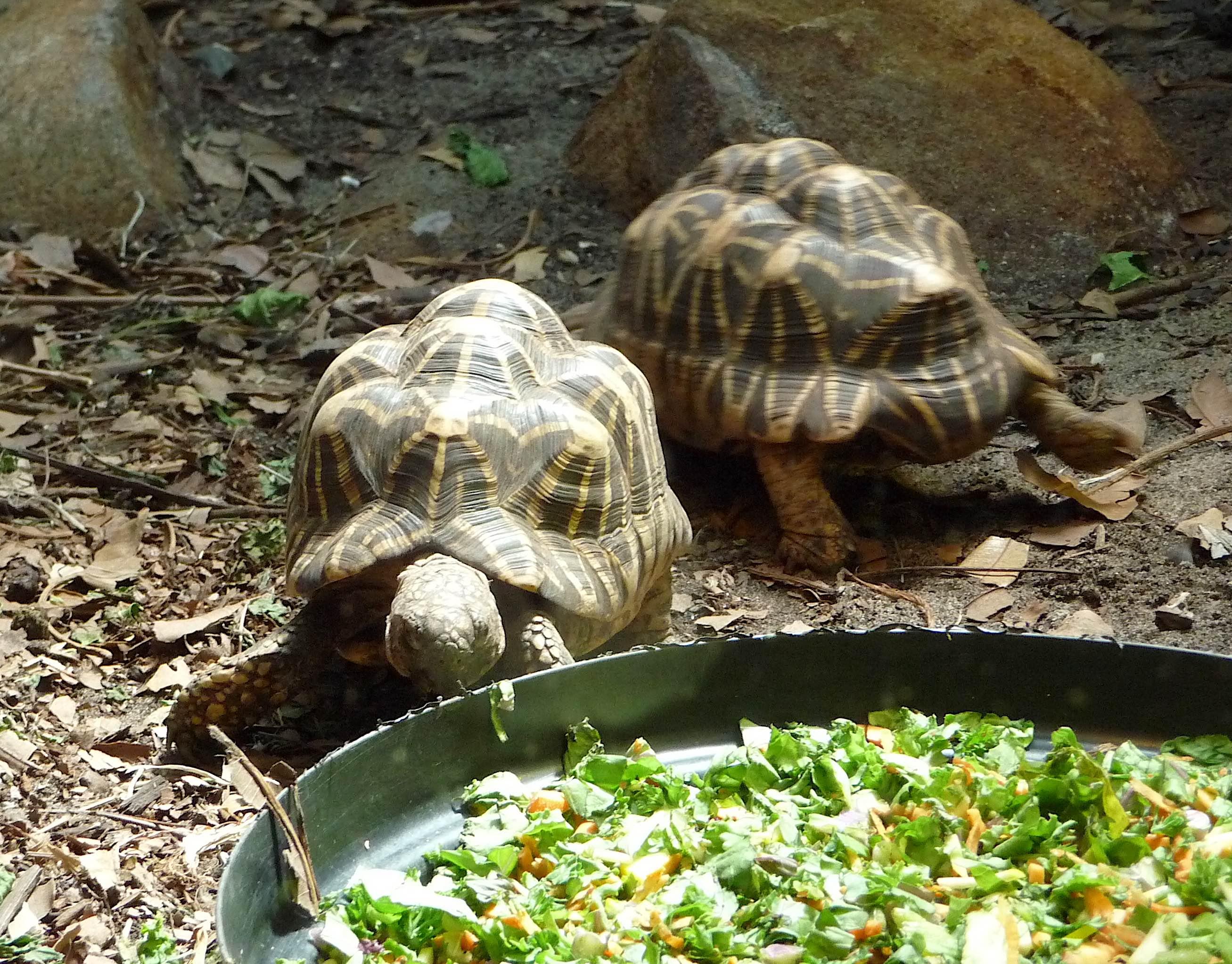 50.Indian star tortoise