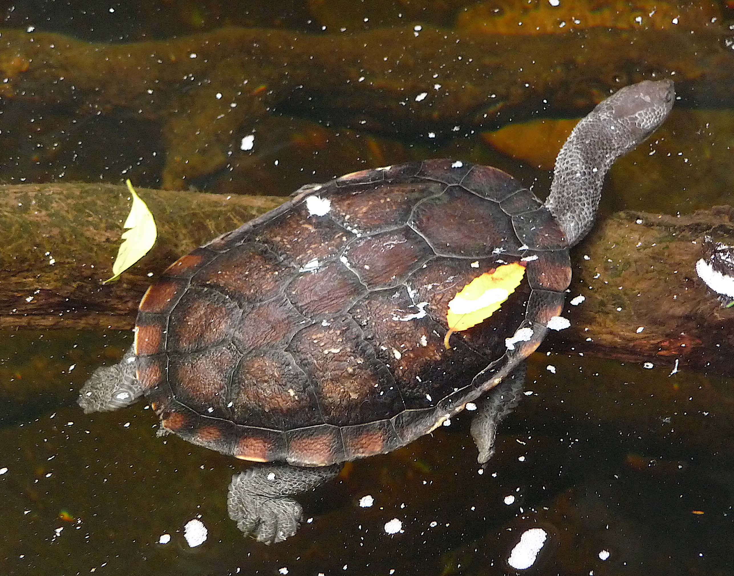 51.Eastern snake-necked turtle