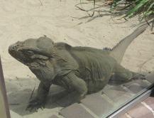 52.Rhinoceros Iguana
