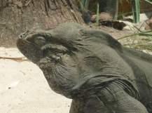 53.Rhinoceros Iguana