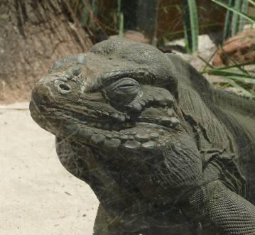 54.Rhinoceros Iguana