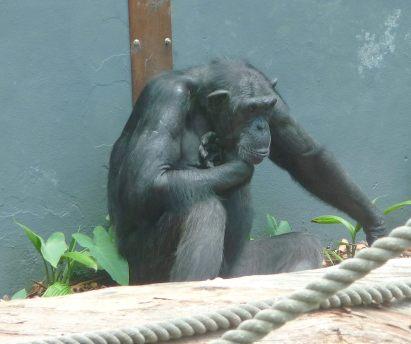 59.chimpanzee