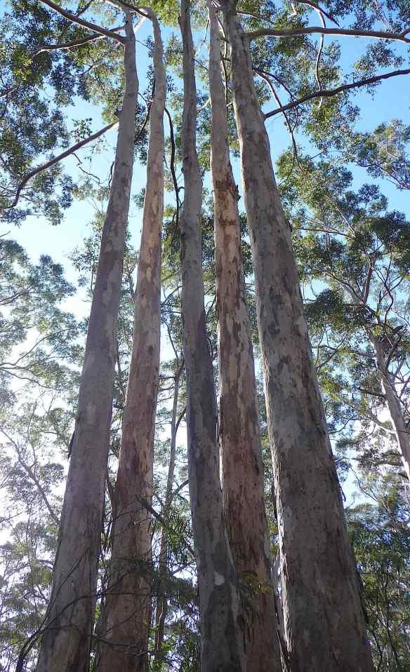 6.Karri trees