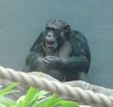 60.chimpanzee