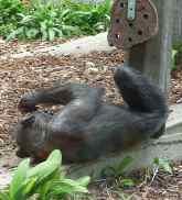61.chimpanzee