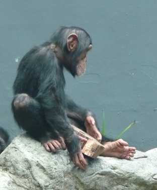 62.chimpanzee