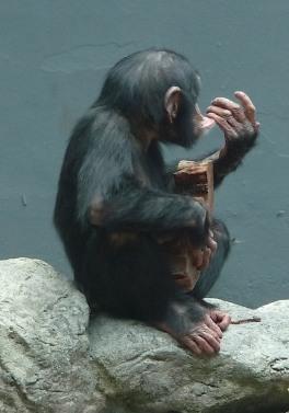 63.chimpanzee