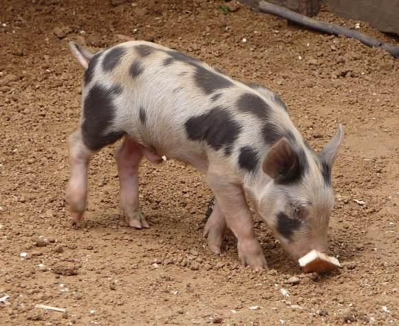 67.piglet