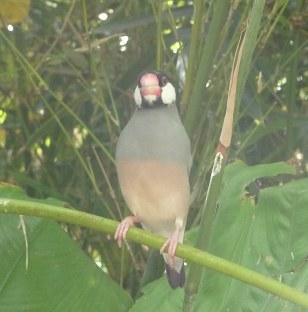 7.Java Finch
