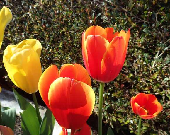9.tulips