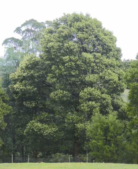 1.Tasmanian blackwood