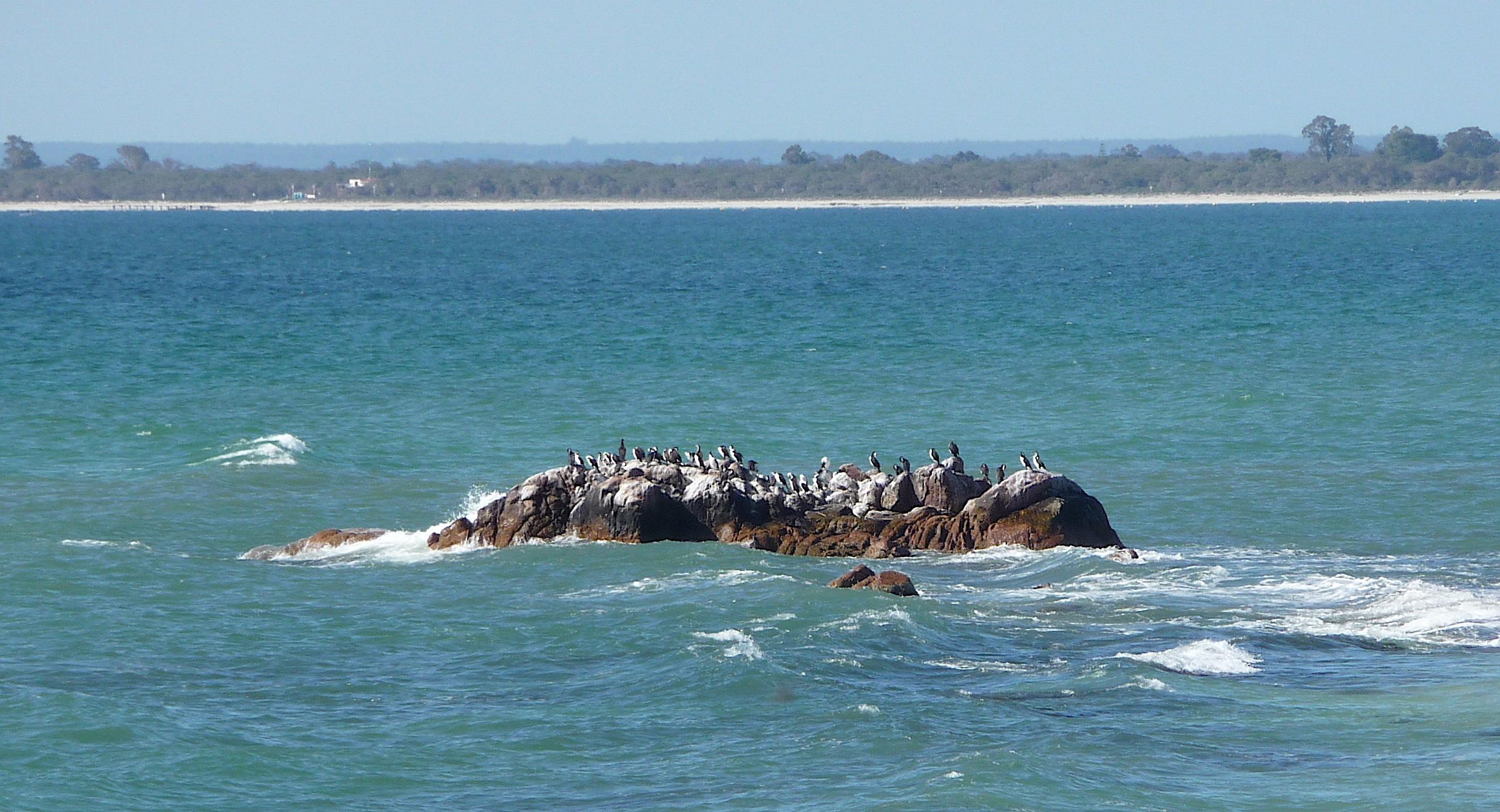 16.shags on a rock