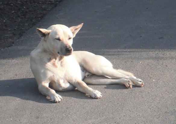 5.Bali dog
