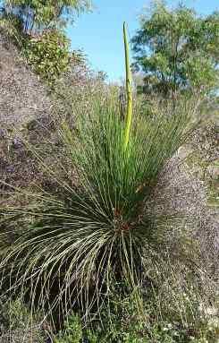8.grass tree