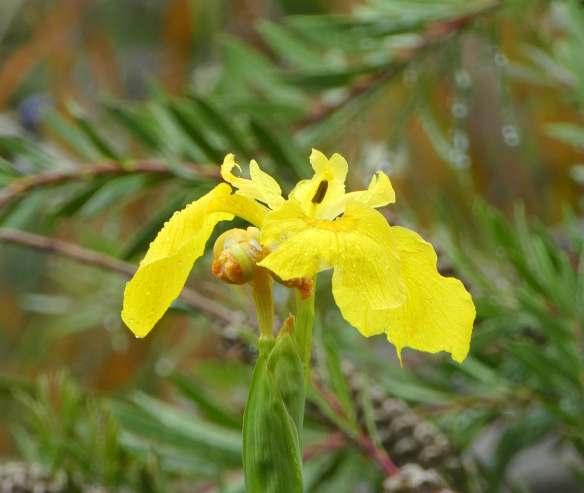 2.water iris