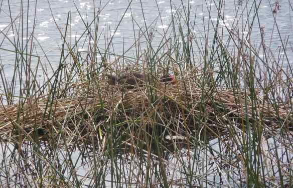 12.nesting Purple Swamphen