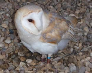 14.barn owl