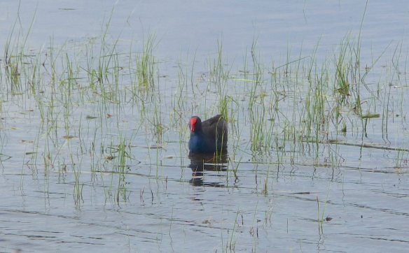 14.Purple Swamphen