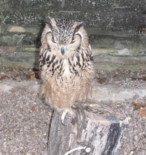 15.horned owl